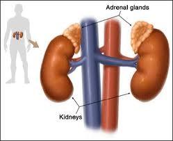 adrenal pic